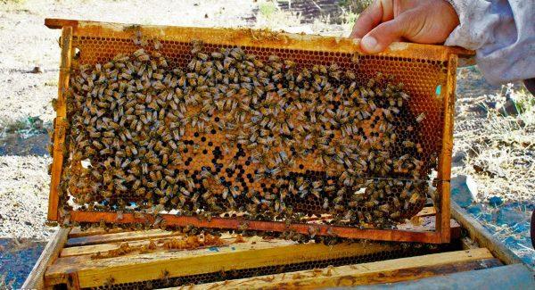 عسل گون با موم یک قاب کامل مقدار 2.5 کیلوگرم